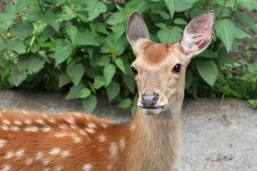 Roe Deer, Baby, Wild Animals, Forest, Nature, Red Deer