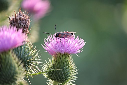 Insect, Burnet, Zygaena, Nature, Red, Blood, Butterfly