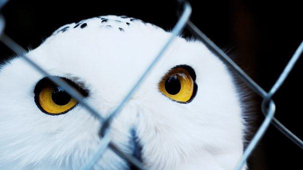 Snowy Owl, Caught, Zoo, Sad, View, Eyes, Yellow