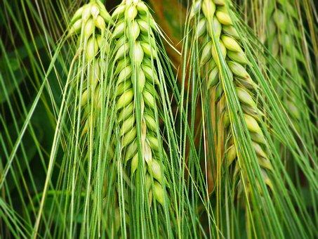 Kłos, Ears, Corn, Field, The Cultivation Of