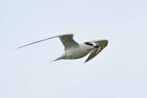 Arctic Tern, Hunting, Prey, Water Bird, Fish, Bird
