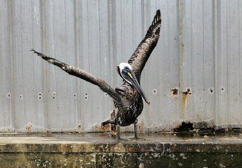 Pelican, Wings, Bird, Wildlife, Animal, Nature, Wild