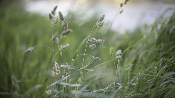 Nature, Grass, Buffalo, Stems, Stalks, Sway, Wind