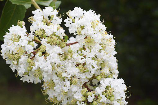 Flowers, Floral, Crape Myrtle, White, Green, Brown
