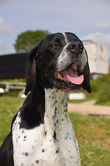 English Pointer, Gun Dogs, Pointer, Dog, English, Breed