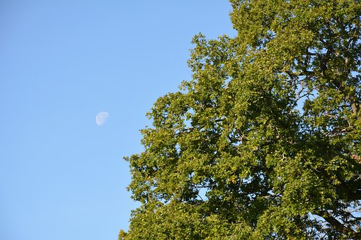 Moon In The Day, Tree, Himmel, Moon, Today, Forest