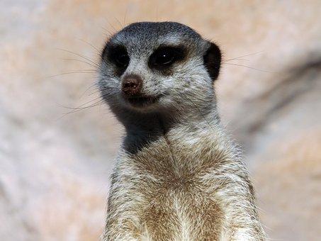 Animals, Zoo, Meerkat, Alert, Animal, Look, Nature