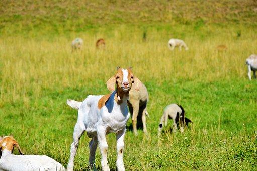 Goat, Prima Donna, Geiss, Little Kids, Pasture, Meadow