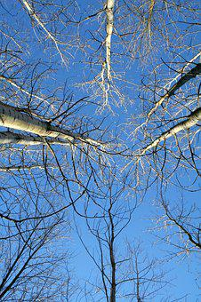 Tree, Winter, Birch, Bark, Cold, Nature, Frost, Forest