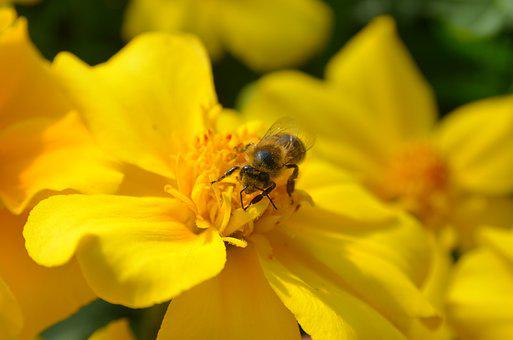 Bee, Flower, Yellow, Nature, Plant, Close, Blossom