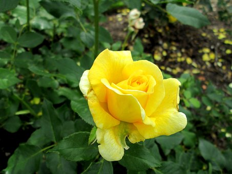 Yellow, Yellow Rose, Ros, Summer, Flower, Garden