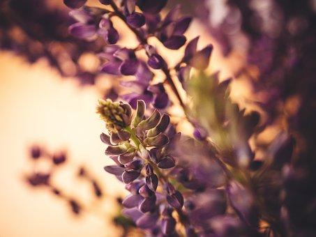 Lupine, Purple, Plants, Garden