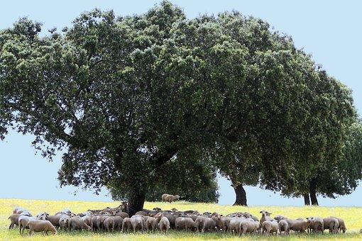 Extremadura Spain, Encina, Sheep, Shade, Spring