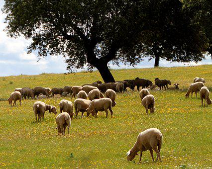 Extremadura Spain, Sheep, Encina, Grazing, Wildflowers