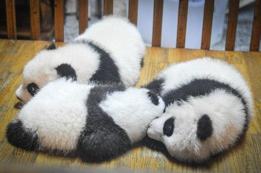 Pandas, Panda Bears, Animals, Babies, Sleeping, Tired