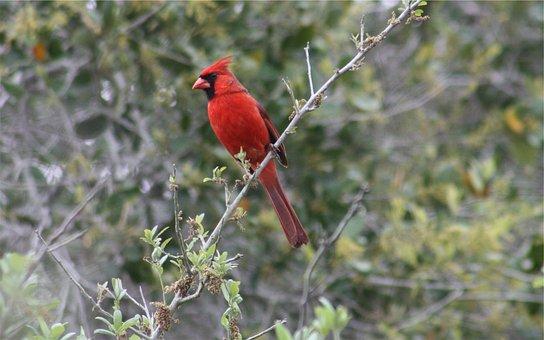 Red Jay, Bird, Branch