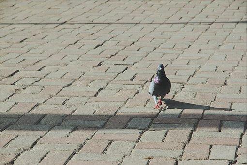 Pigeon, Bird, Cobblestone