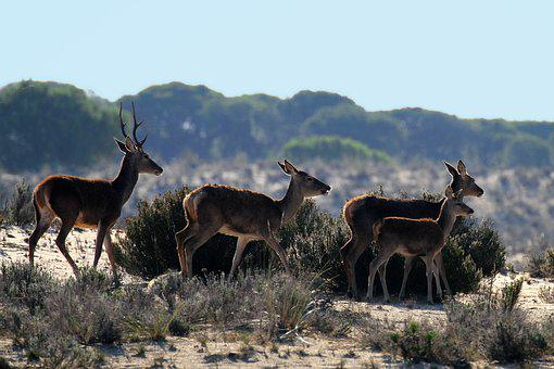 Doñana National Park, Spain, Deer Morning, Stroll