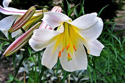 White, Lily, Flower, Flora, Blossom, Garden, Lilly