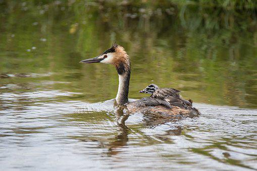 Great Crested Grebe, Podiceps Cristatus, Mother, Young