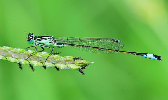 Nature, Damselfly, Insect, Dragonfly, Winged Insect