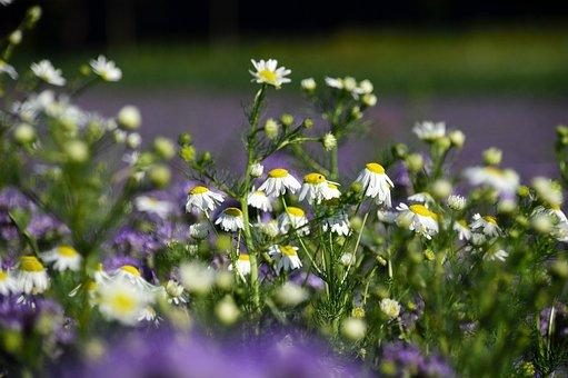 Chamomile, Wild Flower, Flower Meadow, Naturopathy