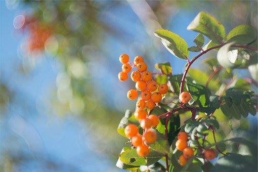 Orange, Berries, Trees, Leaves