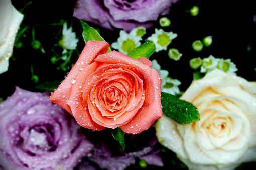 Pink Rose, Rose, Trickle