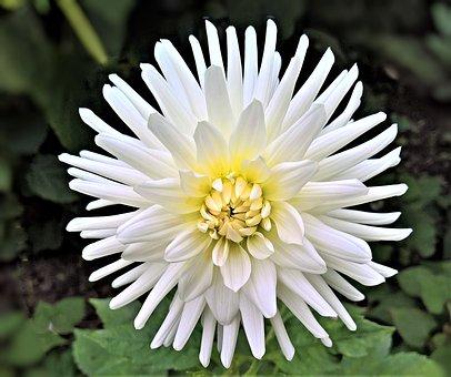 Plant, Chrysanthemum, Flower, Single Bloom, White