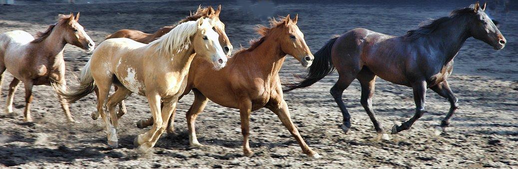 Horse, Horses, Rodeo, Animal, Stallion, Brown, Equine