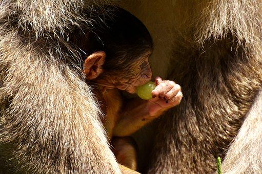 Ape, Baby Monkey, Grapes, Curious, Barbary Ape