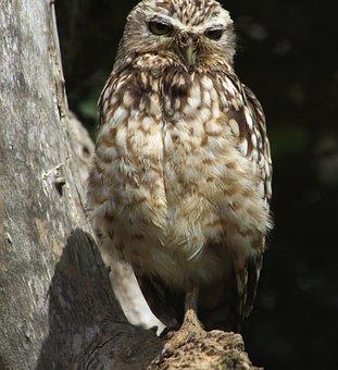 Little Owl, Bird, Raptor, Animal