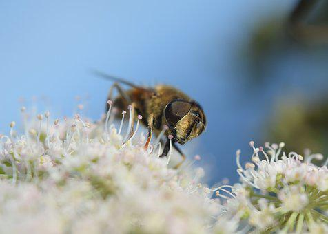 Bee, Flower, Blossom, Bloom, Insect, Macro, Nature
