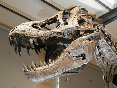 Dinosaur, Skeleton, Skeleton Dinosaur, Skull, Carnivore