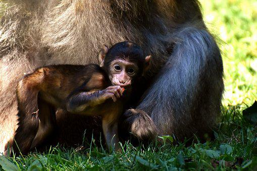 Ape, Baby Monkey, Curious, Barbary Ape