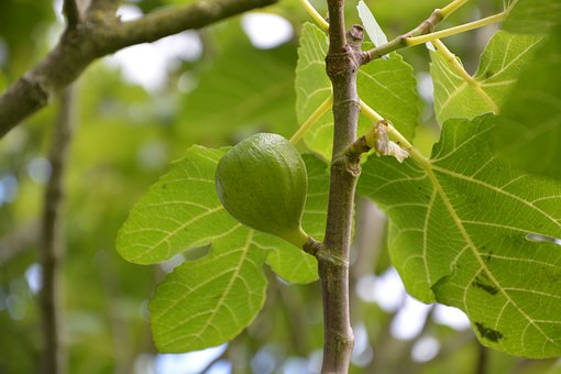 Fig, Fig Tree, Tree, Nature, Green, Branch, Edible
