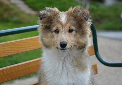 Dog, Shetland Sheepdog, Race, Head, Face
