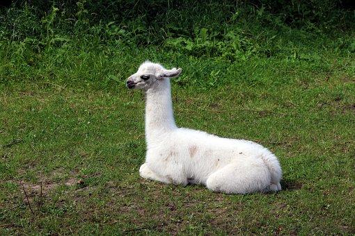 Lama, Animal, Fauna, Mammal