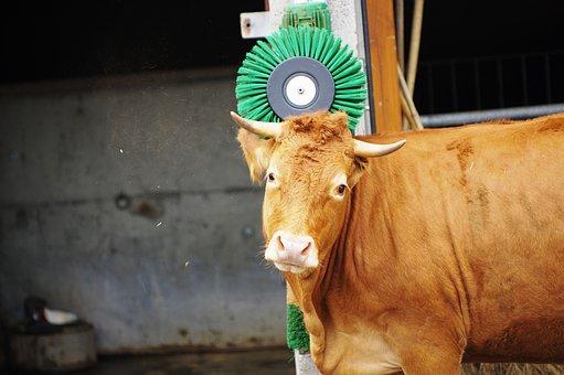 Cow, Massage, Farm, Fur Care, Hair, Bio, Health, Horns