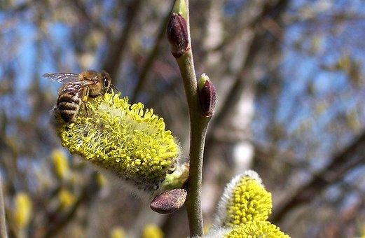 Bee, Hazelnut, Blossom, Bloom, Hazel Flower