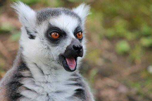 Maki, Lemur, Lemur Monkey, Scared, Excited, View, Foot