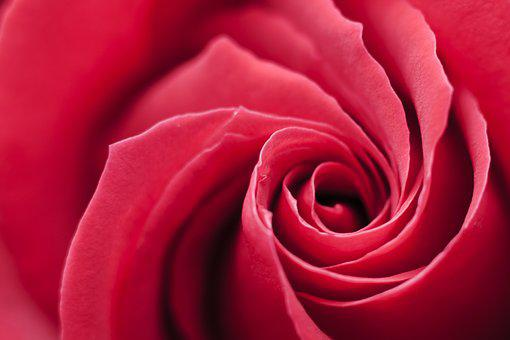 Rose, Red, Swirl, Background, Flower, Romantic, Love