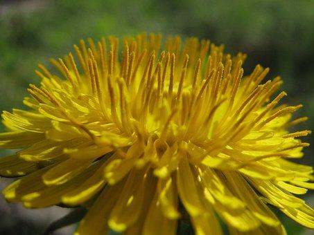 Dandelion, Taraxacum Officinale, Yellow Flower, Weed