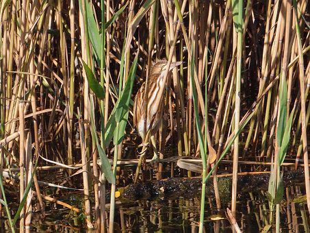 Birds, Bird, Bird River, Bittern, The Small Bittern