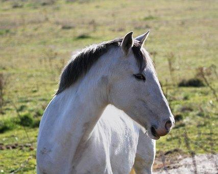 Manzanares Spain, Horse, White Horse, Face, Head
