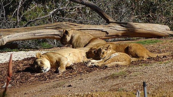 A Pride Of Lions, Lion, Lions, Wild Lion, Zoo Animals