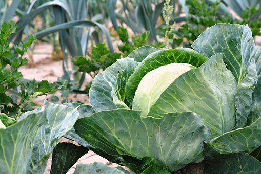 Cabbage, Vegetables, A Vegetable, Food, Agriculture