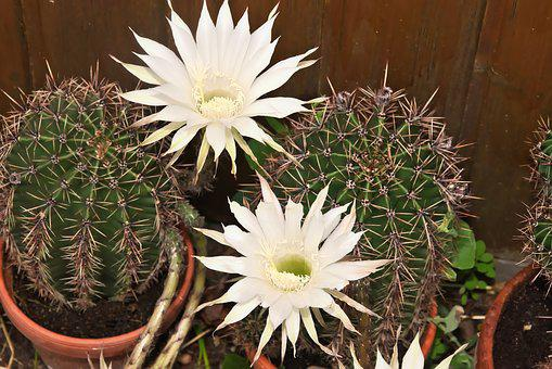 Queen Of The Night, Cactus, Cactus Flower