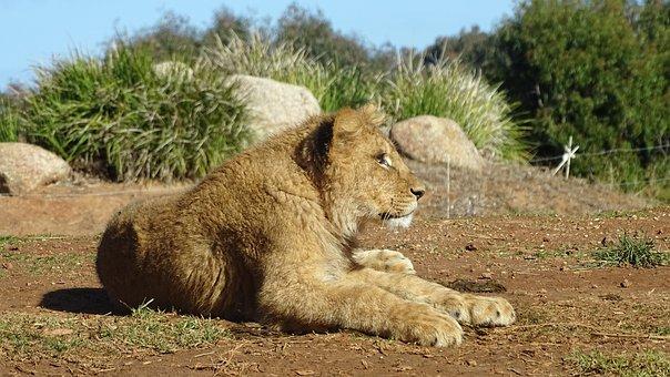 Lion Cub, Lion, Cat, Feline, Baby Lion, Animal