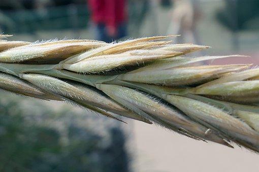 Grain, Ear, Cereals, Wheat, Nature, Grains, Field Crops